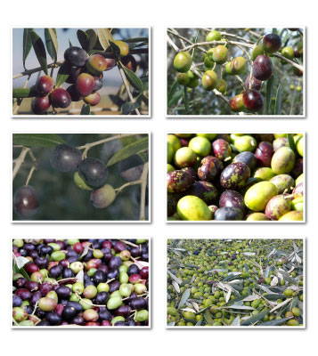 varietà oliva toscana